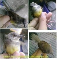 burung-ciblek-kalung